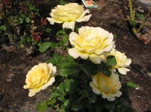 Honey Bouquet Rose Bush