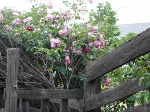 Bean Roses Fertilized with Alfalfa Tea for Roses