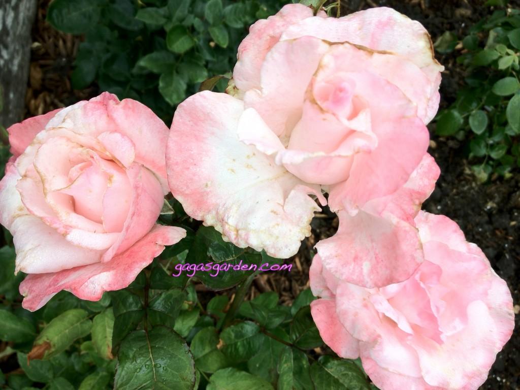 Mu Lan Gaga's Garden
