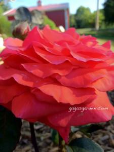 Fragrant Cloud, Gaga's Garden