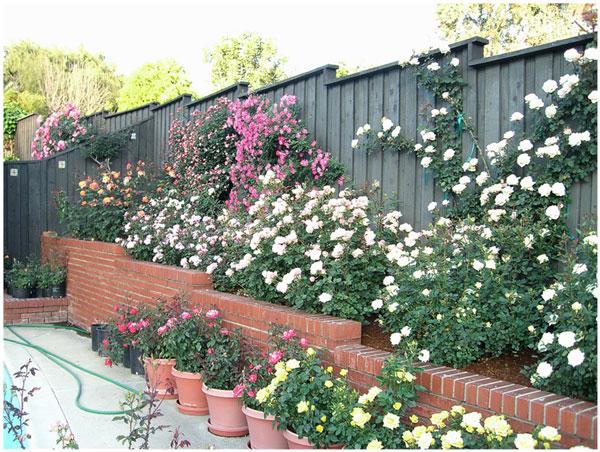 Dr. Tommy Cairns Home Rose Garden