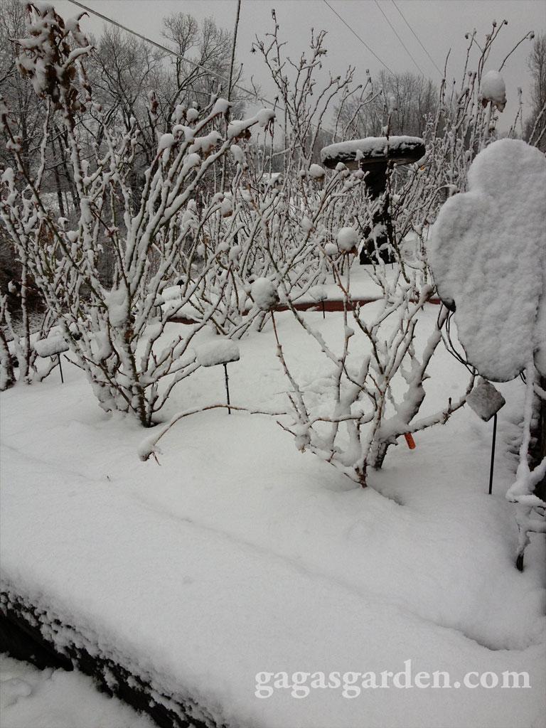 Rose Garden in Snow