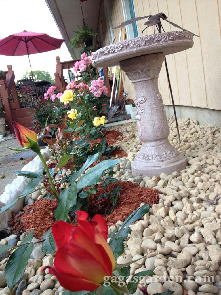 Floribunda Rose Garden Phase One
