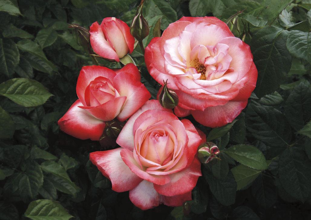 Coretta Scott King, Grandiflora available 2014 season from Weeks Roses