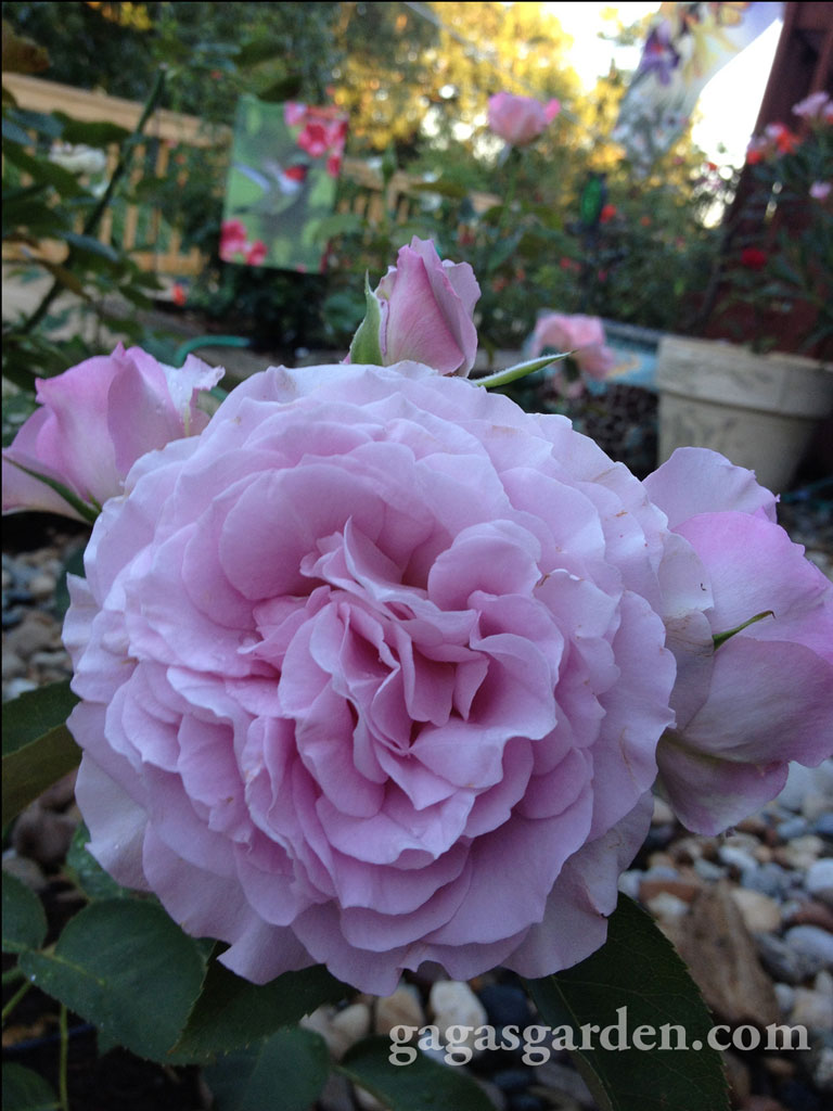 Love Song, A Floribunda Rose in Gagas Garden Summertime 2013