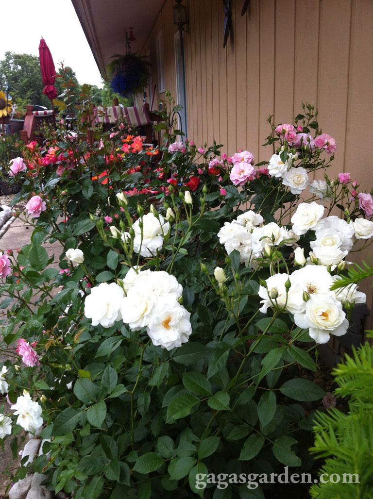 Floribunda Rose Garden