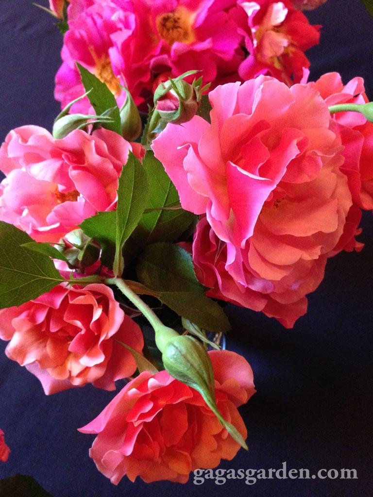 'Tequila Supreme' | Best Floribunda | Meilland | Star Roses and Plants