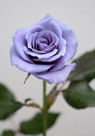 Applause   A True Blue Rose