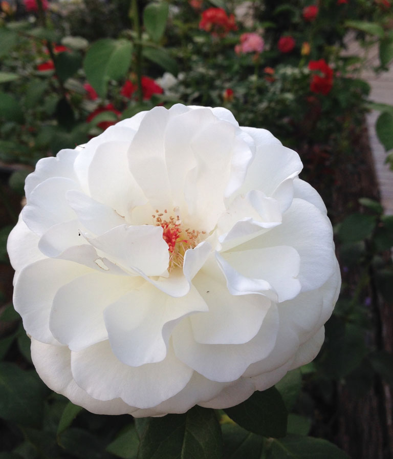 """'Sugar Moon' by Weeks Roses Christian Bédard will """"bull doze you down with its powerful cold cream fragrance"""""""