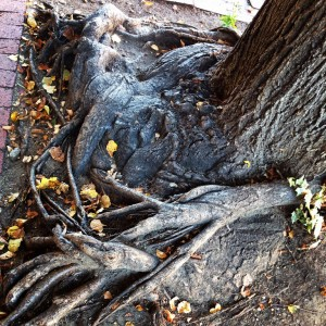 Tree Roots along Fredericksburg Main Street