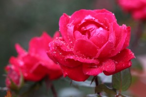 Star Roses 'RadRazz' Knock Out on a Rainy Day