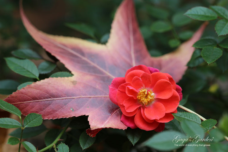 Oso Easy 'Mango Salsa' by Proven Winners captured in all the glory of a late fall bloom