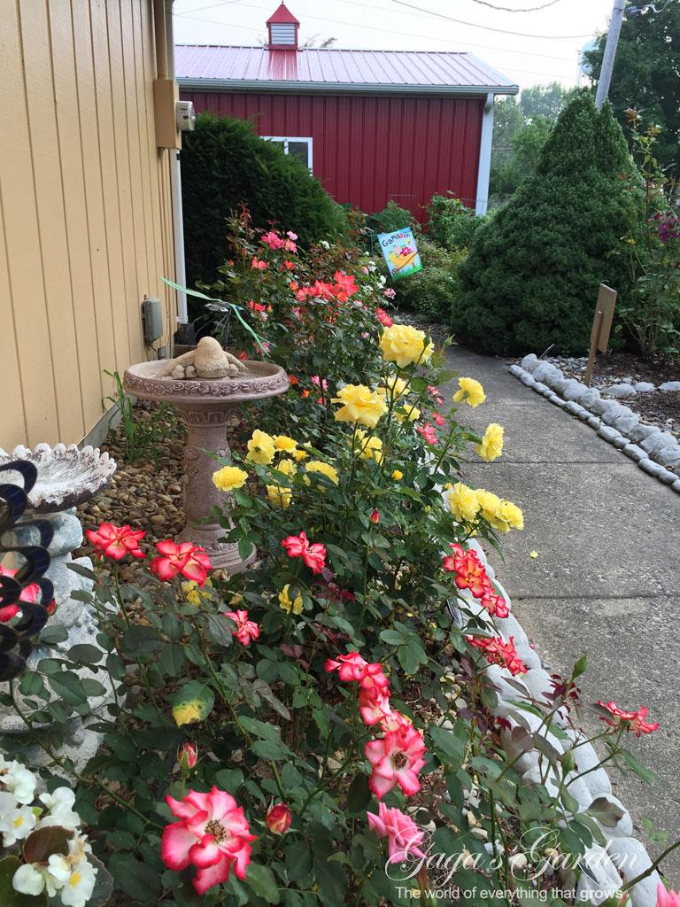 Floribundas in Bloom in July