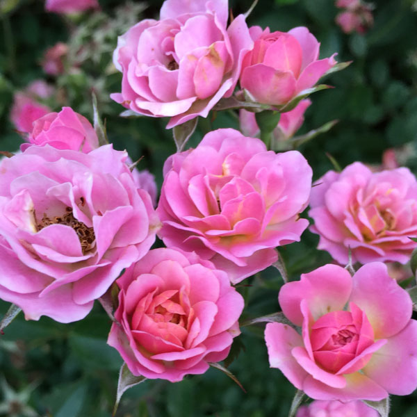 Rosa Petite Pink by Dr. David Zlesak