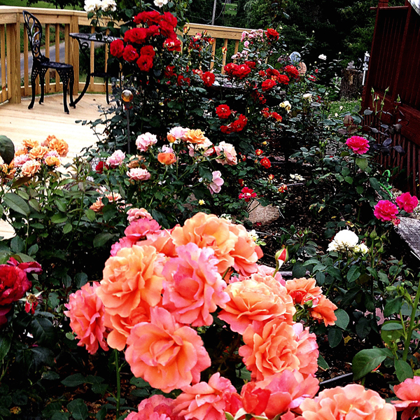 I Called This Picture 'The Garden Last Night'; I walked out on the deck and took a picture of exactly how the garden was in bloom on one summer evening, 'Easy Does It', 'Drop Dead Red', 'Hot Cocoa' and 'Bolero'