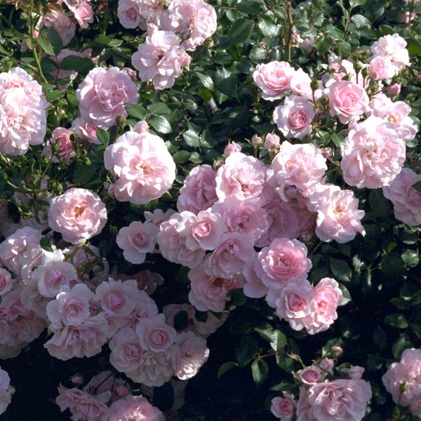 'Bonica' Beautiful prolific ever blooming shrub