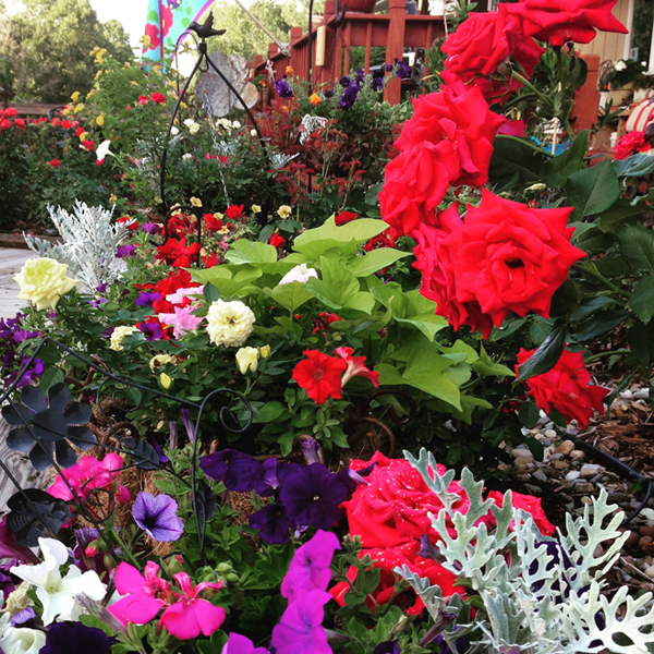 The Rose Garden and Companion Proven Winner Plantings