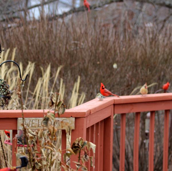 Cardinals Love The Rose Garden