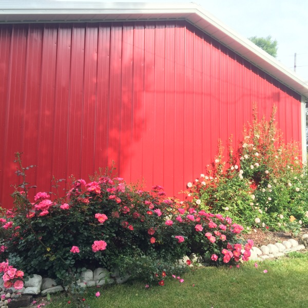 The 'Back of the Lil Red Barn' Rose Garden