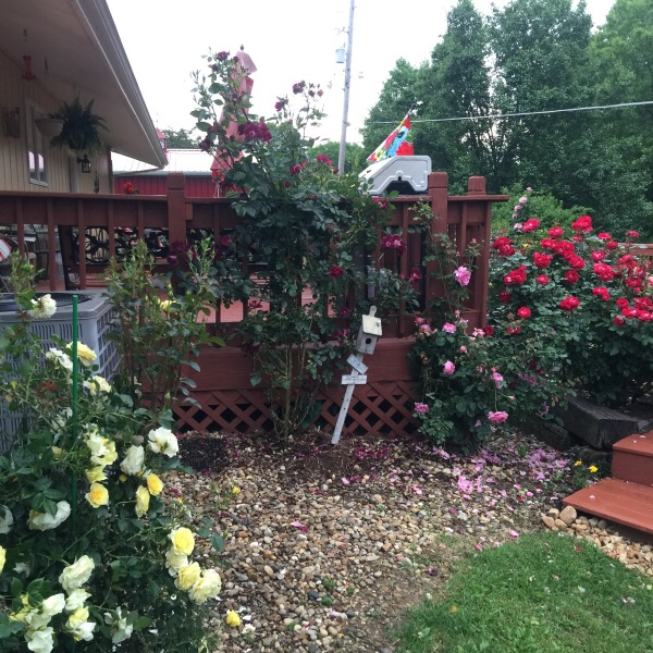 The Rascally Raccoon's Favorite Entryway To The Rose Garden