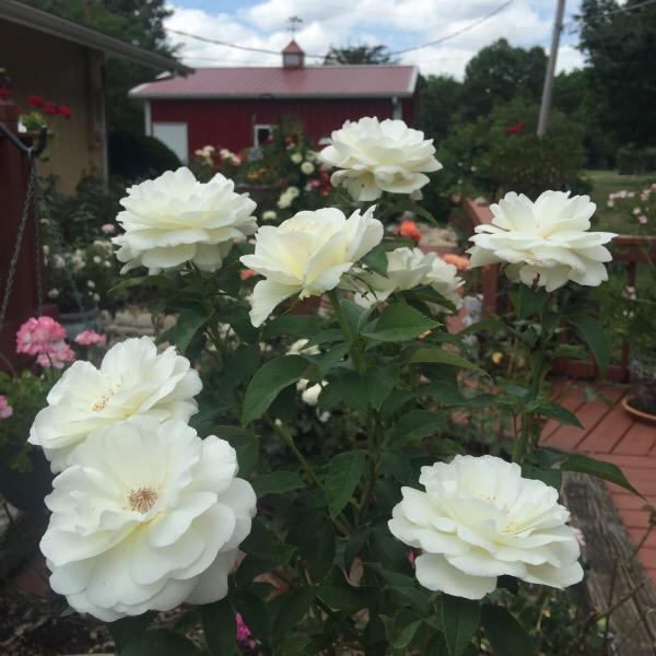 'Sugar Moon' Hybrid tea Rose in The Illinois Garden After Sustained Heat
