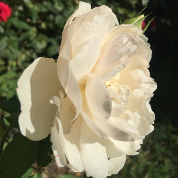 'Litchfield Angel' Bathed in Sun Light by David Austin Roses