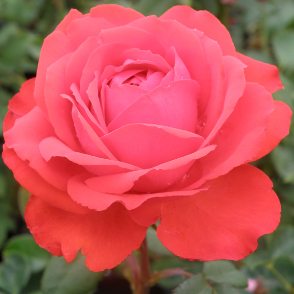 P9511T Bred by Roses by Ping Lim