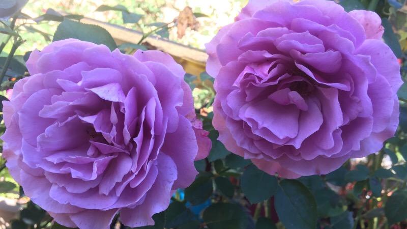 'Love Song' floribunda rose with lavender, ruffled petals & a mild beautiful citrus fragrance