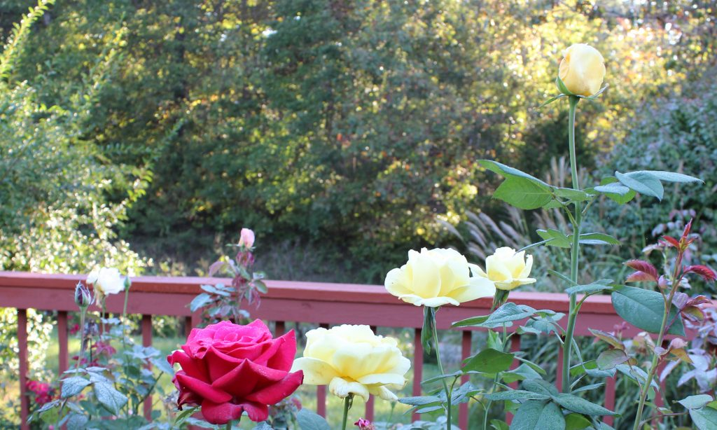Dreaming of A Memory Rose Garden