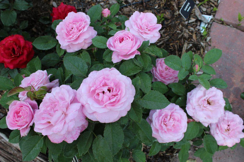 Creating A Rose Garden