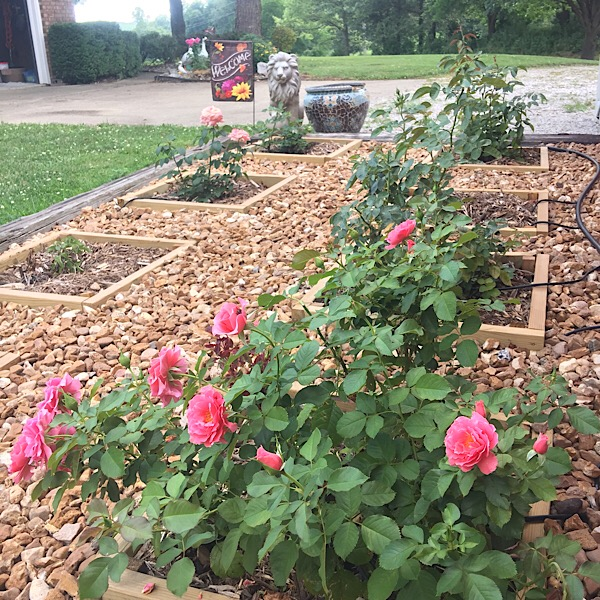 The New Jackson & Perkins Trial Rose Garden   Forefront 09-03162