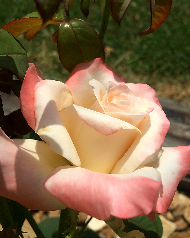 'Soft Whisper' Cream colored roses kissed with peach perfect for fall blooms