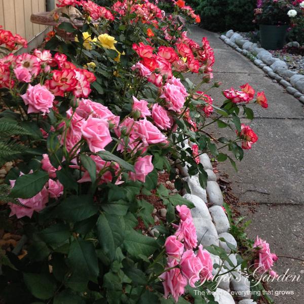 Floribunda Rose Garden In Bloom | Rapid Bloom Cycle | Profusion of Showy Blooms