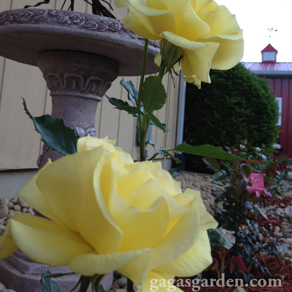 Sunsprite' One of the First Floribunda Roses Planted | Quick Results | Happy Color