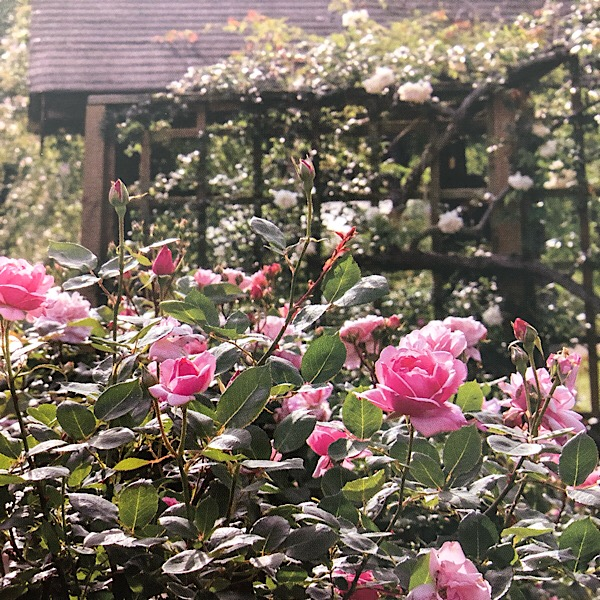 This section displays old garden roses originating in China, sent from the Zhun an Rose Garden in China,