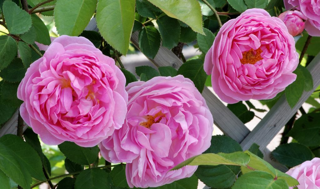 """'Constance Spry' the Progenitor of """"English Roses"""""""